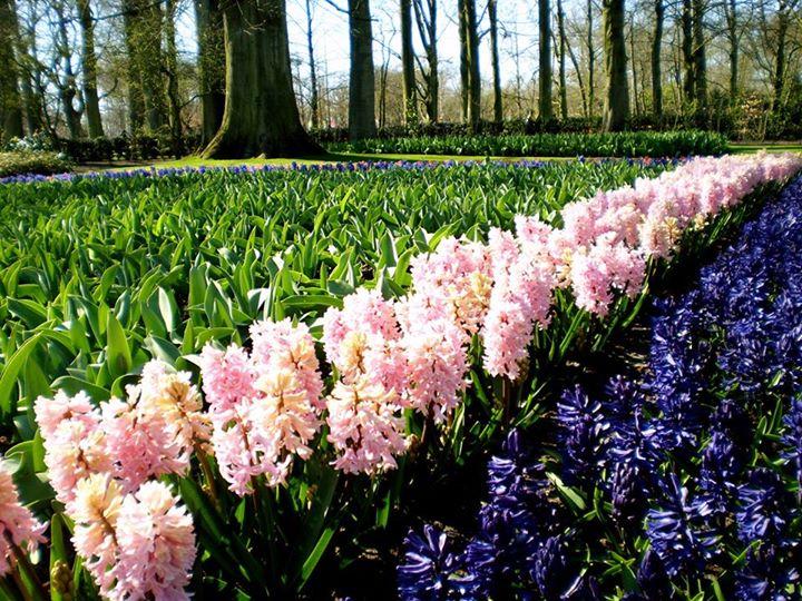 Keukenhof's flowers